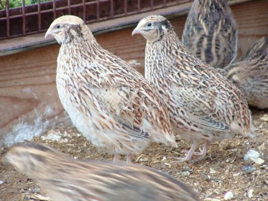 Some of our friendly Japanese quails